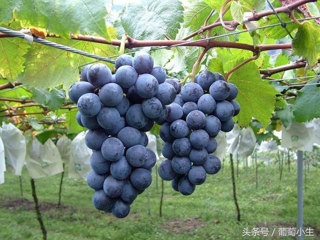 早熟葡萄品种,早熟葡萄——它最热门!
