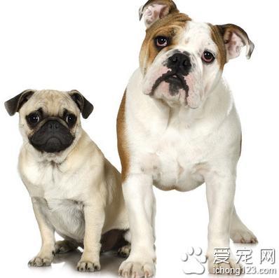 小狗吃打虫药的吃法,狗狗吃什么打虫药 注意驱虫药的用量