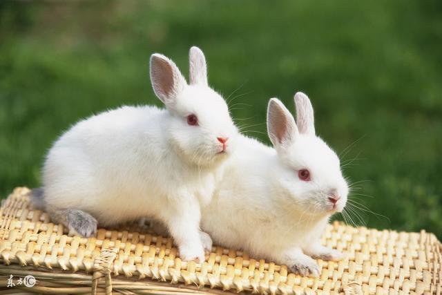 小兔子图片,儿童简笔画:小兔子白又白,一个教程学起来(附步骤图)