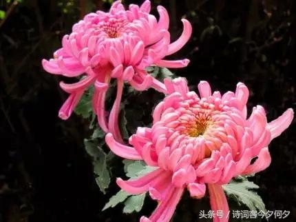 带色色的诗,「七绝」咏菊两首(蕊绽丝丝色色明)(新韵)