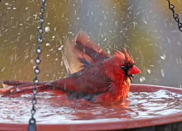 鸟的成语,水花四溅---鸟儿为什么爱洗澡?