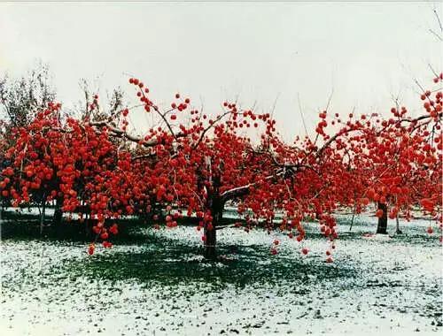 开心果树图片,亲,来了解一下日本果树高品质树形——开心形