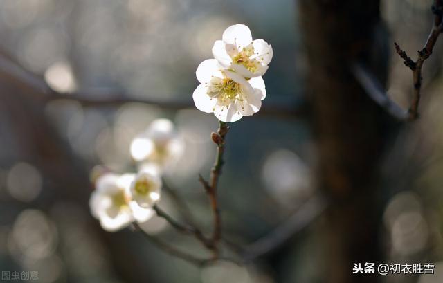 写花的句子,梅花丽句:满城桃李不能春,独向雪花深处,露花身