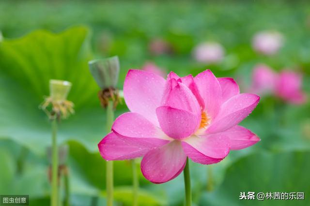 荷花的诗,最美的20首荷花诗词!碧水红莲,十里荷香,惊艳了整个夏天