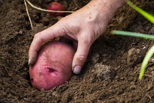 土豆品种,红皮土豆为何受到消费者喜爱?原因很简单:营养又美味