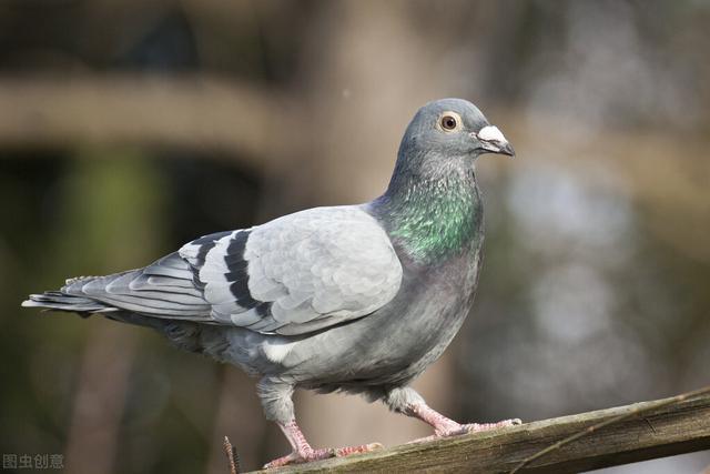 查询成绩鸽,大量失鸽是个崩溃疗法