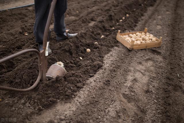 土豆品种,土豆种植全过程:4个阶段7个步骤,35种病害25种虫害