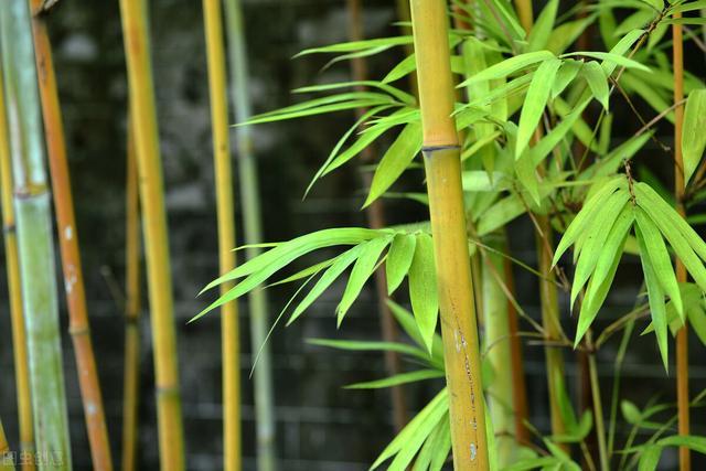 """富贵竹图片,客厅养上4种""""竹"""",富贵平安,秀气长存"""