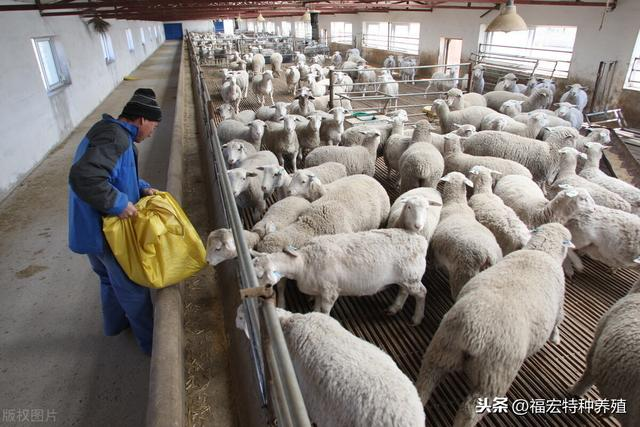 肉羊品种,目前我国引进的国外优良肉羊品种有哪些?国内品种羊不具备的优点