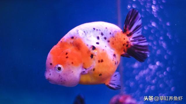 金鱼怎么养才能活,养金鱼,这3点很重要,鱼友们学会了也都能养好金鱼