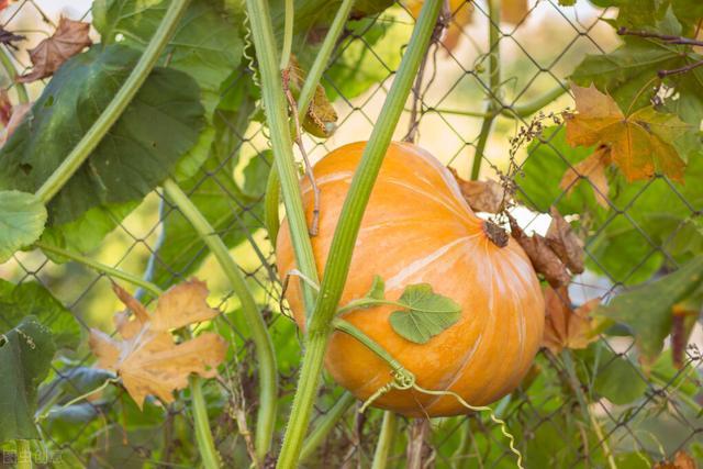 南瓜怎么做,南瓜种植有妙招,又大又香收益高!怎么做?这样播种、育苗、定植