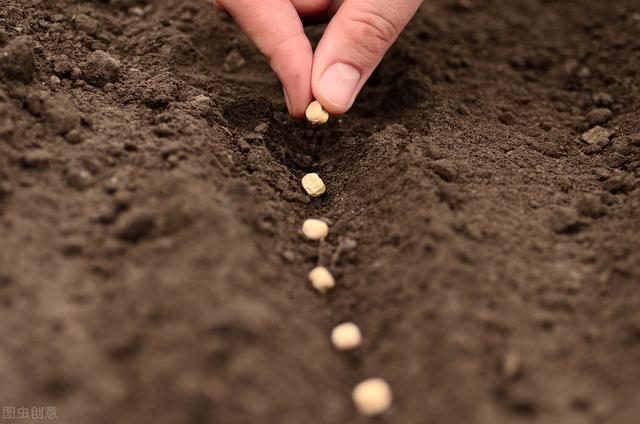 花生的简介,花生播种时间怎么确定?过早烂种,过迟产量会降低