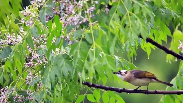 形容花的唯美短句,杏花烟,桃花雨,楝花风。读楝花的古诗词,邂逅岁月静好
