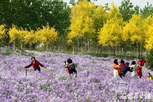 """氤氲怎么读,季羡林先生笔下的""""二月兰"""",把滹沱河畔装扮成一片迷人的紫色花海"""
