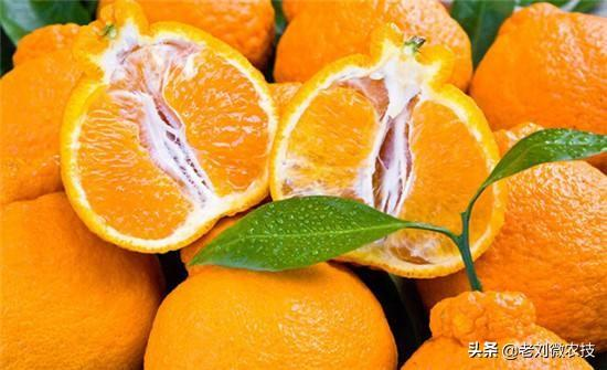 橘子品种,让我们一起来看看,那些年,爱过的柑橘品种