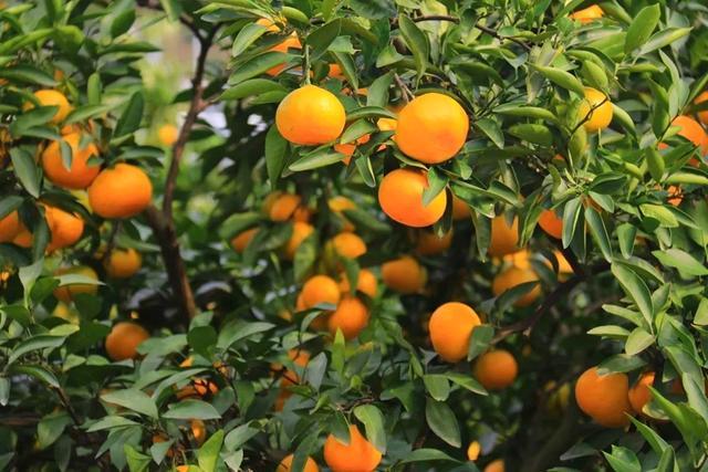 可以盆栽的果树,养护注意这几点,硕果累累