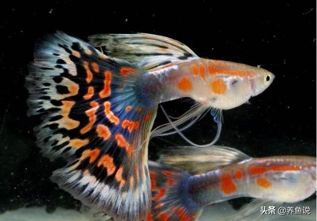 孔雀鱼品种,养了挺久的孔雀鱼,你知道自己为啥喜欢它吗?看我有没有说中
