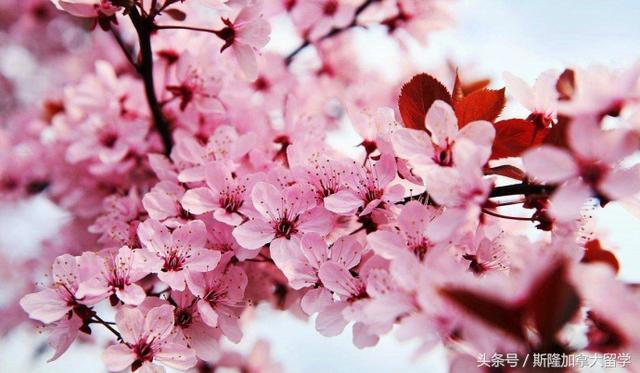 描写樱花的优美短句,美景配美句,加拿大的樱花更有一番别样的韵味!三月,最好的季节