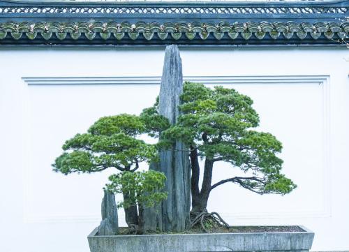松寓意,松树盆景的风水作用,有什么特点?青山不老松