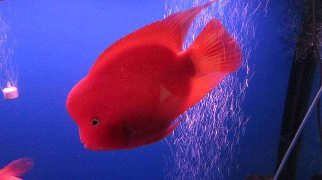 鹦鹉鱼图片,鹦鹉鱼入缸胆子小,主人就要像训狗一样对付它们!