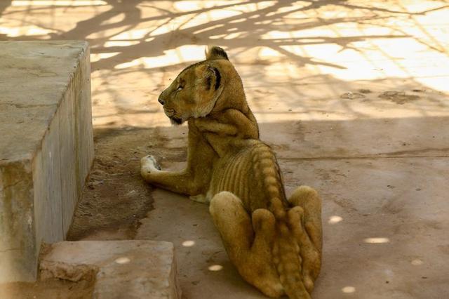 苏丹动物园难经营,员工自掏腰包,猛狮子仍瘦成皮包骨后饿死 全球新闻风头榜 第1张