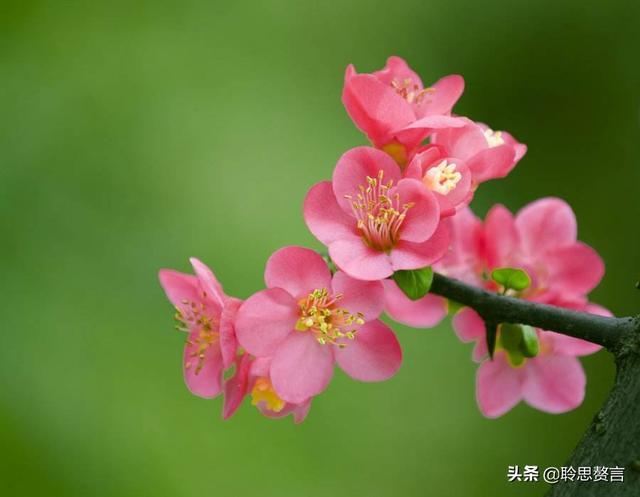 锦江的诗,海棠花诗词精选三十三首 日日春风满范围,海棠又发去年枝