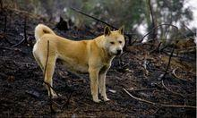 猎狗品种,你知道吗?中华田园犬居然有这么多品系