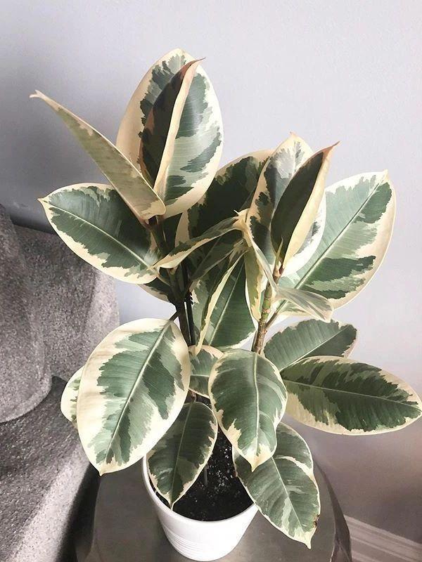 """0种叶色斑斓的观叶植物集合,都适合养成室内观赏盆栽"""""""