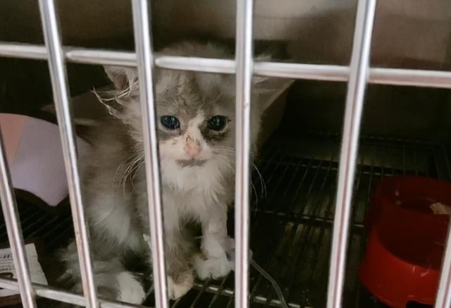 別人要安樂的貓,被我撿了回來,8個月後,這顏值不虧 家有萌寵 第1张
