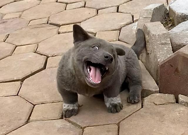還記得這只長得像貓的狗嗎?它長大了,身世之謎也被揭開了 家有萌寵 第1张