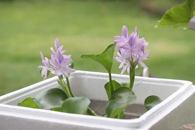很适合养在室内的7大类水生植物,给适当光照,就能开出可爱小花