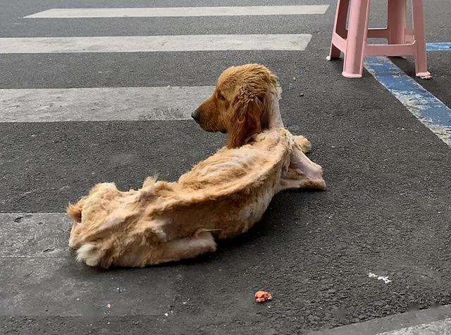 """金毛犬图片,路边一只金毛瘦成""""排骨"""",却依然待在原地等候:主人怎么还没来"""