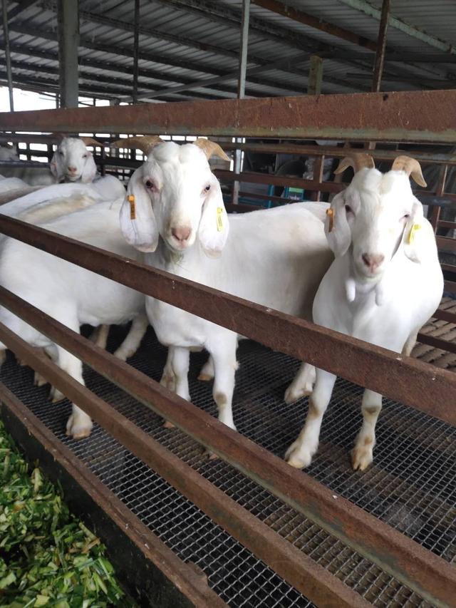 肉羊品种,我们国内的优秀肉羊品种有哪些?农村一定要养殖山羊才赚钱吗?