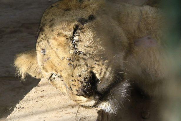 苏丹动物园难经营,员工自掏腰包,猛狮子仍瘦成皮包骨后饿死 全球新闻风头榜 第4张