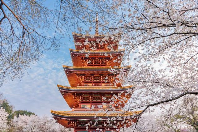 武汉东湖风景区,樱花季节,与武汉来一场美丽的邂逅吧