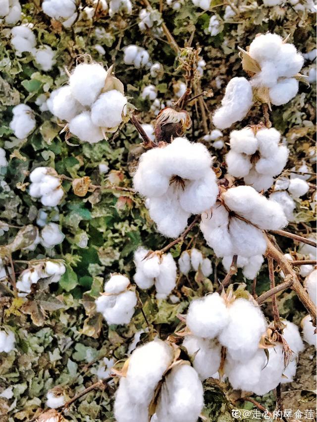咱们的棉花可是顶尖,这么重要的植物,快来认识一下