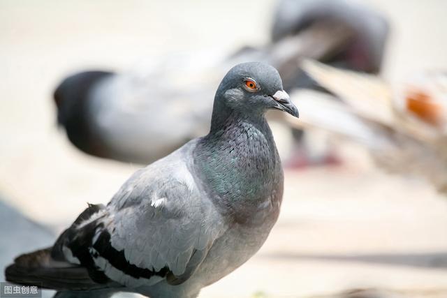 信鸽足环查询查成绩,幼鸽辨雌雄,高手支招,99%准确!