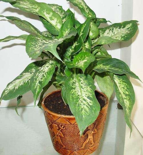"""家庭养花,就选5种""""大盆栽"""",净化强,甲醛,尼古丁少1倍"""