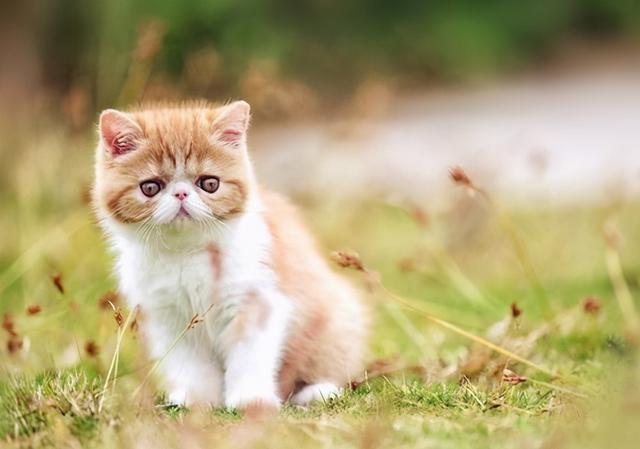 加菲猫图片,异国短毛猫(加菲猫)怎么养?