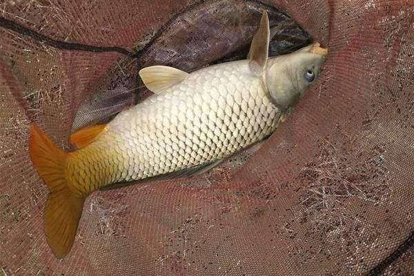 鱼品种,常见的鱼类你们钓到过多少种?