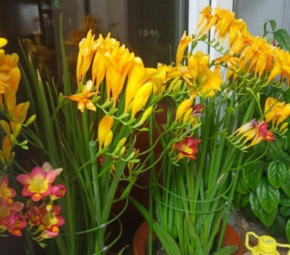 """种""""漂亮花"""",开花香气大,家里养一盆,再也不用喷香水"""""""
