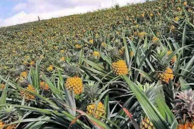 菠萝品种,广东70万吨菠萝上市,价格同比略有上涨,今年不用担心滞销了