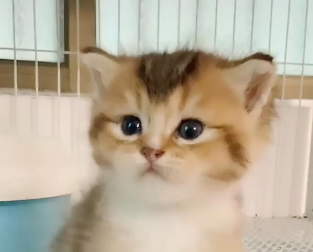 金漸層禍禍了布偶貓,這是生了一窩啥?不像爸也不像媽 家有萌寵 第7张