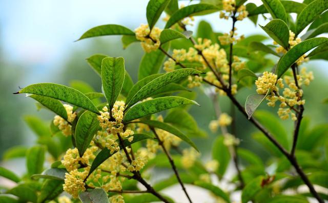 桂花树图片,桂花树好看还能吃,种好桂花树一点都不难
