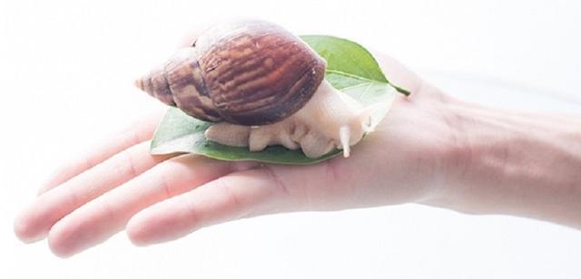 蜗牛的吃法,蜗牛美食烹饪系列:洋葱炒蜗牛