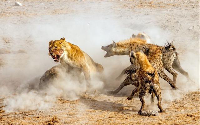 """鬣怎么读,草原鬣狗为什么钟情于掏肛?单挑非洲一哥""""平头哥""""能否取胜?"""