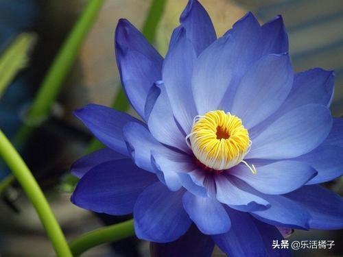 莲花  寓意,莲花,中外悠久历史的花卉之一,解读其历史背景及花语