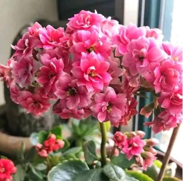 樱花的寓意,家养这些植物,阳台开出花海,寓意大吉大利,2020年好运连连
