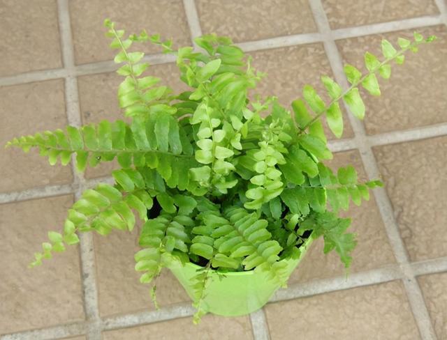"""种适合摆放在桌面上的观叶绿植,适合春暖后买,适合园艺初学者"""""""