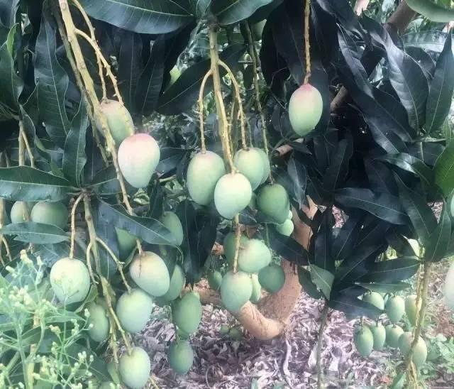 芒果品种,这十个芒果品种哪个未来潜力最大,最赚钱